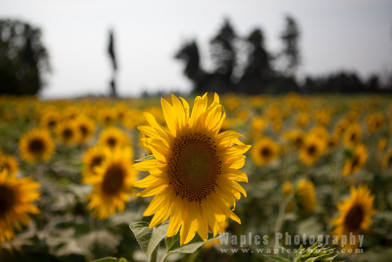 Sunflower and Cypress