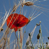 Poppy and Wheat
