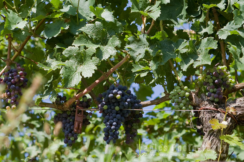 Wine Graps