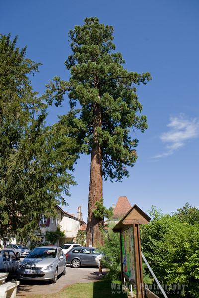 Giant Sequoia, Planted in 1830 (179 yrs. old)