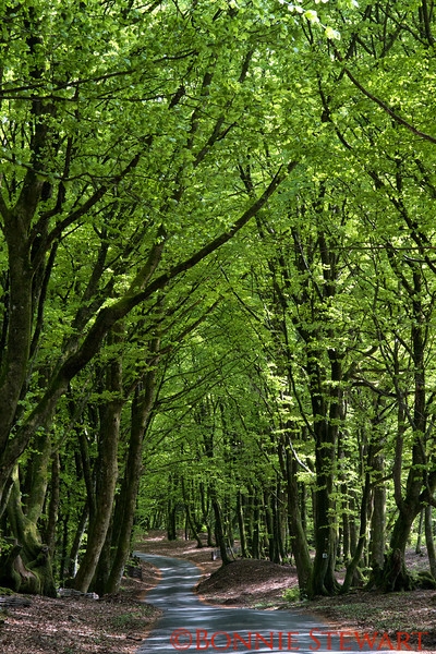 Beech forest in Mount Beuvray, Morvan Regional Park, Burgundy, France