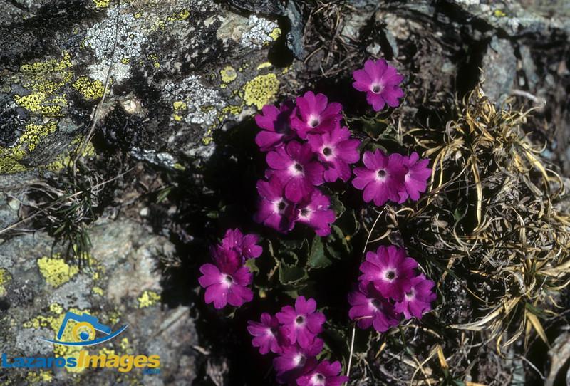 Alpine Flowers<br /> French Alpes, Kodachrome