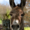 Local donkey in Chaumard