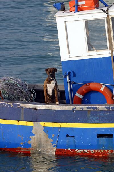 Boxer dog on fishing boat; La belle Isle En Mer, Britanny, France
