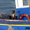 Boxer dog on fishing boat; La belle Isle En Mer, Britanny, France