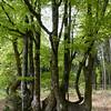 Beech forest in Mount Beuvray, Morvan Regional Park, Burgundy, France