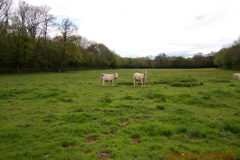 White cows in the countryside