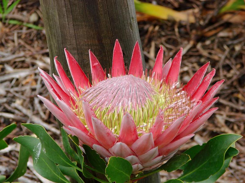 King Protea, the National Flower of South Africa, Harold Porter National Botanical Garden