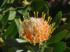 Protea, Kirstenbosch National Botanical Garden