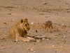Even the Black-Backed Jackal knows the lion is vulnerable