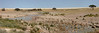 Springbok at waterhole.  (Best viewed at X3) <br /> There are two lions hiding at this waterhole.  One is in the green grass in the upper center near the water, the other is in the grass in the lower left foreground.  No one knew they were there when this panorama was taken.