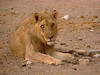 Wounded lion, (injured right hind leg)