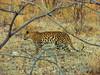 A Leopard beginning the evening hunt.