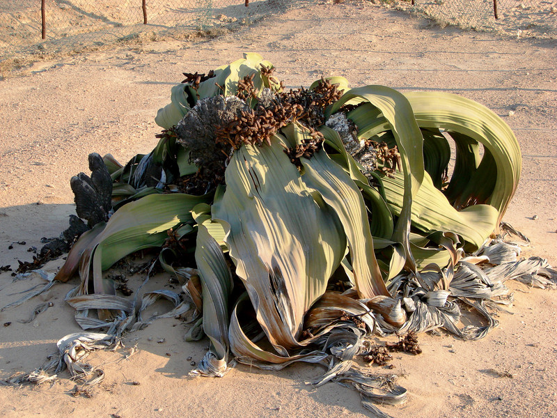 "Welwitschia mirabilis ""trees,"" the trunk is underground and only two leathery sisal-like leaves emerge, which get shredded and twisted into a jumble."