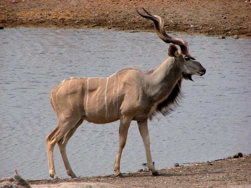 A magnificant Kudu
