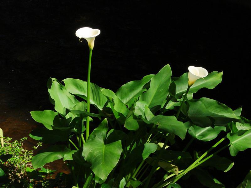 Arum (Cala) Lily in Vineyard Hotel Garden
