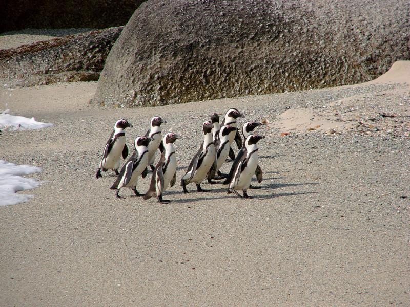 African (Jackass) Penquins