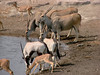 Bottom to Top: Impala, Oryx (Gemsbok), and Elan with stunning spiralling horns