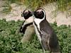 African (Jackass) Penquins, Boulders Beach