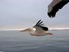 African Pelican - Walvis Bay