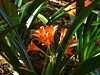 Clivia in Vineyard Hotel Garden