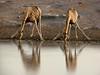 Giraffes in sync.