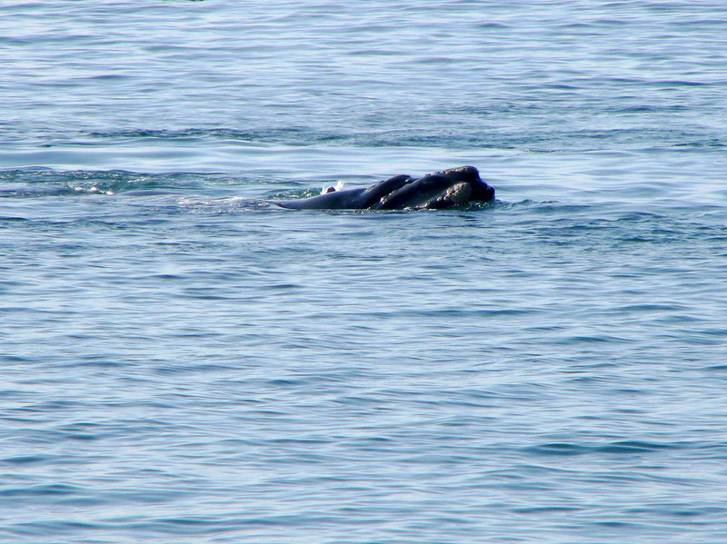 Southern Right Whale seen from shore, Hermanus