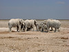 Desert Elephants, Etosha National Park