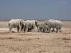 Desert Elephants, Etosha National Park