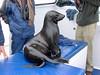 Young fur seal