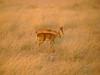 A pair of Steenbok