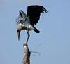 Marabou Stork; Tarangire