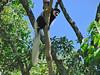 Colobus Monkey; Arusha