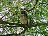 Eagle Owl; Tarangire