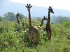 Giraffes, ever-present and always photogenic;  Arusha