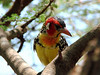 Red and Yellow Barbet, Lake Manyara