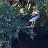 Night Heron - Kwak