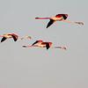 Greater Flamingo - Flamingo