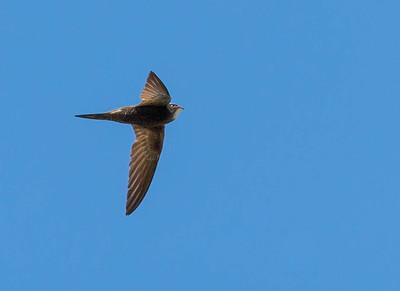 Swift - Gierzwaluw