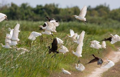 Cattle Egret - Koereiger Glossy Ibis - Zwarte Ibis