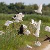 Cattle Egret - Koereiger<br /> Glossy Ibis - Zwarte Ibis