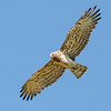 Short-toed Eagle - Slangenarend
