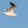 Slender-billed Gull - Dunbekmeeuw