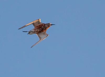Curlew Sandpiper - Krombekstrandloper