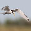 Little Tern - Dwergstern
