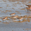 Little Stint - Kleine Strandloper