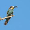 European Bee-eater - Bijeneter