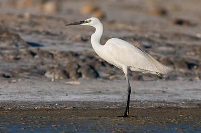 Little Egret - Kleine Zilverreiger