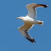 Yellow-legged Gull - Dunbekmeeuw