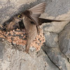 Crag Martin - Rotszwaluw